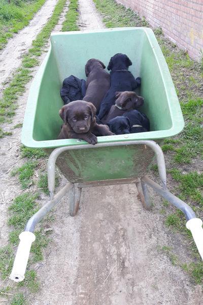puppies in een kruiwagen